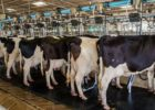 Élevage bovin : une union franco-québécoise de chercheurs pour améliorer la qualité du lait